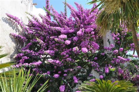 arbustes à fleurs arbuste 224 fleurs violettes liste ooreka