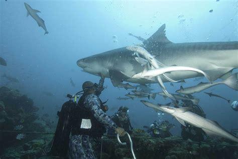 beqa shark dive waidroka surf fiji dive fiji fiji