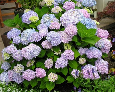 shrubs that bloom all summer all summer beauty hydrangea dirt simple
