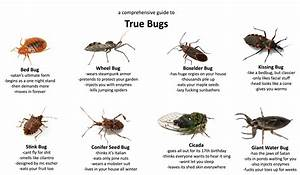 Can I Join The Fun  A Guide To True Bugs   Whatsthisbug