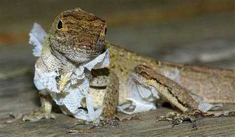 Baby Bearded Shedding Problems by Normal And Abnormal Shedding In Pet Reptiles Reptiles