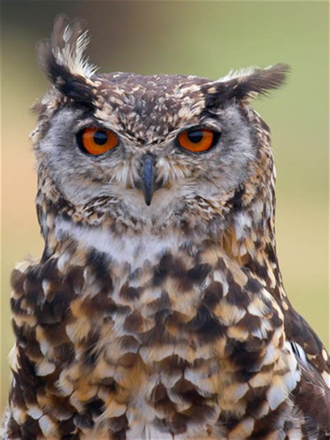 cape eagle owl stock photo freeimagescom