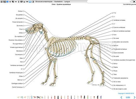 labeled atlas  anatomy illustrations   dog