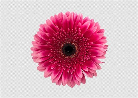 Png Pink Gerbera Daisy Flower ~ Graphic Objects ~ Creative