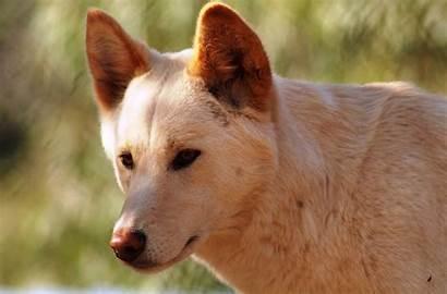 Dingo Dog Breed Breeds Puppy Characteristics Info