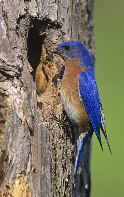 image gallery new york state bird