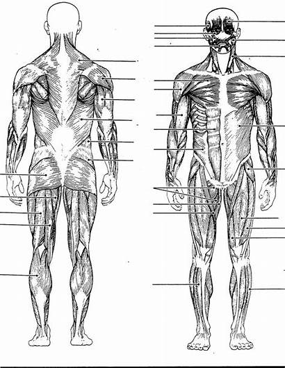 Muscle Skeletal Human Muscles Anatomy Diagram Muscular