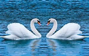 Swan Love Wallpapers