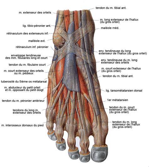 les muscles de la jambe et du pied planches anatomiques