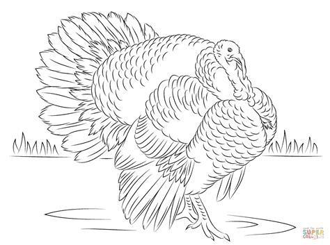 bourbon red turkey tom coloring page  printable