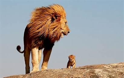 African Lion Animals Wallpapers Pixelstalk