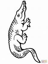 Alligator Coloring American Pages Alligators Drawing Simple Printable Cute Supercoloring Print Success Caiman Helpful Getdrawings Getcolorings Successful Categories sketch template