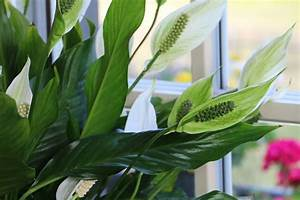 Pflanzen Die Wenig Licht Brauchen Heißen : zimmerpflanzen die wenig licht brauchen 16 bl hende ~ Lizthompson.info Haus und Dekorationen