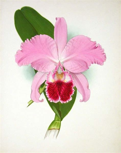 how to draw a cattleya flower 419 best floral art images on pinterest flowers botanical illustration and botanical prints