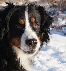 Best Mountain Dog Ideas And Images On Bing Find What You