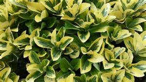 Variegated Foliage Plants