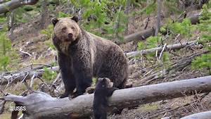 Return of the Yellowstone Grizzly Bear - YouTube  Grizzly