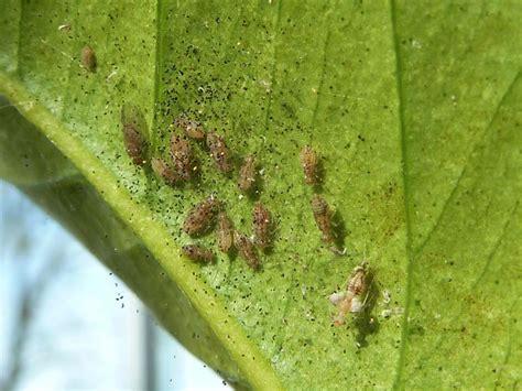 unbekannter schaedling  zitronenbaum ectopsocus petersi