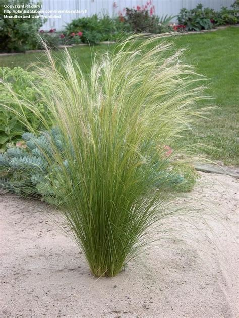 mexican feather grass mexican feather grass google search the garden is where i want to