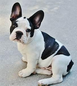Hundebekleidung Französische Bulldogge : franz sische bulldogge haustiere ~ Frokenaadalensverden.com Haus und Dekorationen