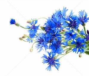 Cornflower Stock Photos, Stock Images and Vectors | Stockfresh