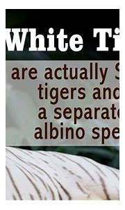 Utterly Mind-boggling Facts About the White Bengal Tiger