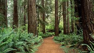 Redwood Forest Wallpapers - Wallpaper Cave
