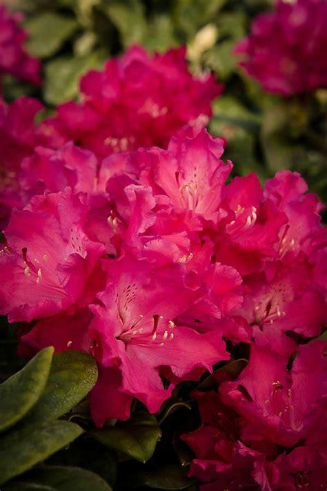 hellikki red rhododendron  sale   tree center