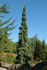 Picea Glauca  U0026 39 Pendula U0026 39