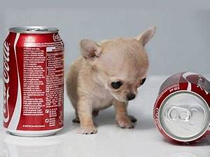 10 Smallest Dog Breeds in the World – Wow Amazing