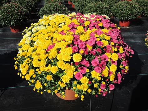 Fall Mums & Asters - Chateau Farms