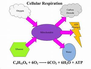 Seventhscience    Cellular Respiration And Photosynthesis