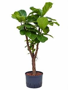 Hydrokultur Shop Online : dracaena compacta drachenbaum hydrokultur k belpflanzen terrapalme heim und gartenshop ~ Markanthonyermac.com Haus und Dekorationen