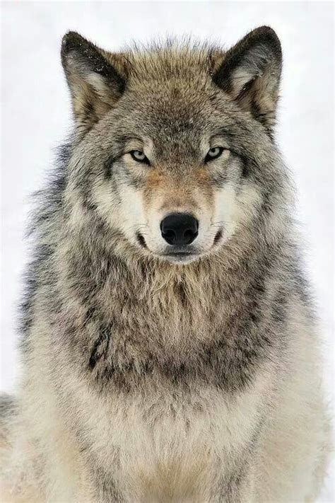 Best White Wolves With Bright Blue Eyes Images