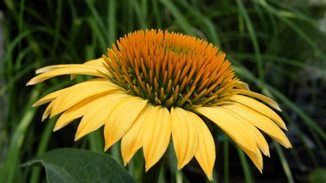 Yellow Coneflower For Sale - YouTube