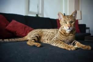 how big do bengal cats get the ashera cat looking regal flickr photo