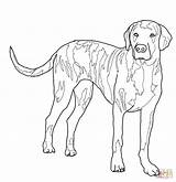 Coloring Dog Pages Dogs Hound Hunting Coon Drawing Plott Outline Lab Mastiff Whippet Fox Printable Realistic Superhero Template Sketch Basset sketch template