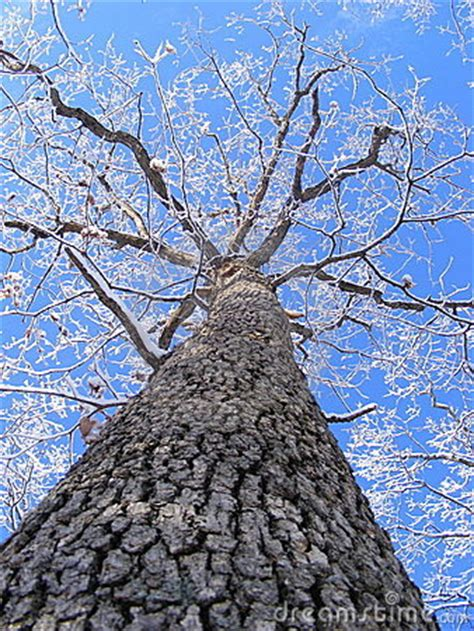 tall oak tree  snowy limbs stock photography image