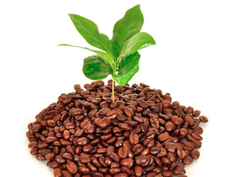 So, some plants will not like them. Advantages of Using Coffee Ground for Better Plants Like Fertilizer in Your Garden
