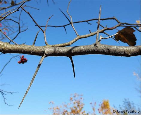 hawthorn thorns washington berries identify tree trees invasive extract harvest ouroneacrefarm identification wild fruit apple plants herbs crataegus seeds phaenopyrum