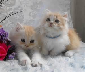 munchkin cat breeders pictures of munchkin cat breed munchkin cats