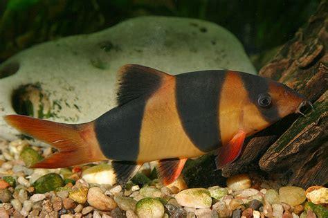 loach fish loach