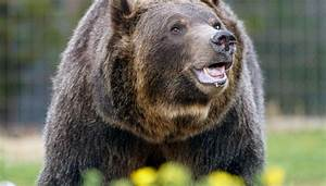 Judge blocks grizzly bear hunting season, for now  Grizzly