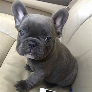 50 Very Cute French Bulldog Puppy Images And Pictures