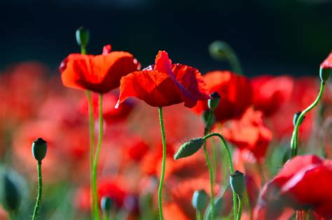 images field red poppies landscape green