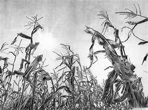 Iowa Cornfield Drawing by Craig Carlson