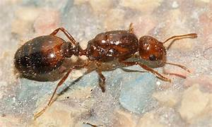 Fire Ant (queen) - Solenopsis invicta photo - Tom Murray ...
