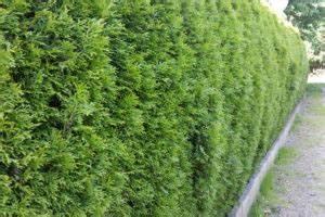 Lebensbaum Hecke Schneiden : lebensbaum archive pflanzenversand24 ~ Eleganceandgraceweddings.com Haus und Dekorationen