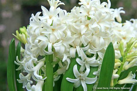fragrant flowers white flowers for sweet perfume janet davis explores colour