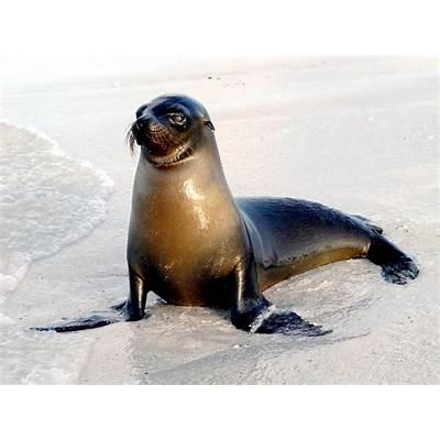 Galápagos Sea Lion – OCEAN TREASURES Memorial Library